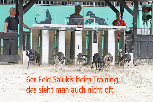 Saluki-Festival beim Training in der Windhund-Arena